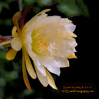 Epiphyllum in Bloom