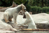 Polar Bear Playtime Spring of 2014