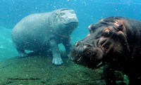 Mom & 1 Year Old Baby Hippo