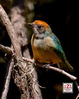 Rufous-crowned Tanager